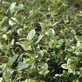 35 Stk. Euonymus fortunei 'Emerald Gaiety' - (Weißbunte Kriechspindel 'Emerald Gaiety')- Topfware 20-30 cm