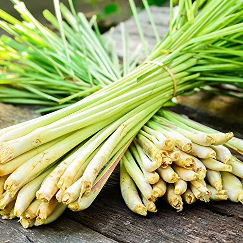 100 Pcs Seeds Lemongrass Seeds | Non-GMO | Natural Herb Seeds Garden Seeds , Seeds, Gardeners Choice!