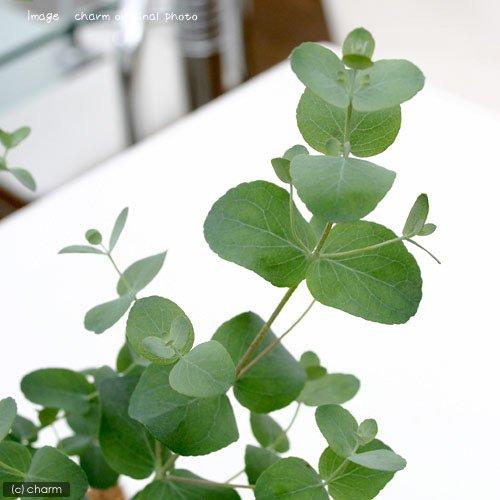 (観葉植物)ユーカリ グニー 3号(1ポット)