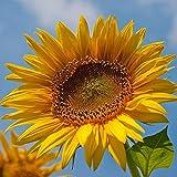 50 Pezzi Girasole Semi per giardino all'aperto piantagione di campo annuale semi di cimelio in fiore fiori dorati cortile decorativo crescita verticale impollinazione aperta