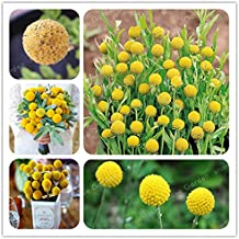 100 Pieces/Lot Heirloom Craspedia Globosa Drumstick Perennial Billy Buttons Garden Yellow Flower Bonsai Potted Plant