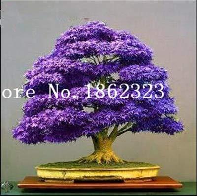 Shopmeeko Graines: Vente chaude! 30 pcs arbre d'érable Bonsa, Bonsaï d'érable bleu Bonsa d'érable japonais, plantes pour jardin et maison Balcon, facile à cultiver: 18