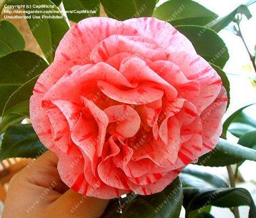 100% des graines Real camélia commun, (Camellia japonica), graines de fleurs bonsaï plantes en pot extérieur de bricolage pour jardin maison 5 pièces/sac 11