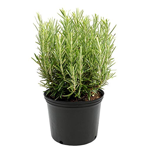 AMERICAN PLANT EXCHANGE Upright Rosemary Indoor/Outdoor Air Purifier Live Plant,...