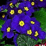Zdmathe - Set di 200 semi per fiori da sera, colore: blu
