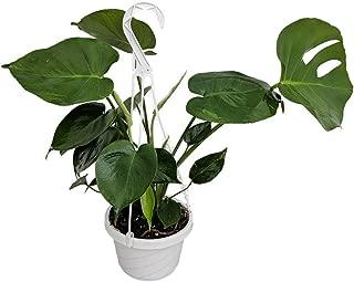 Split Leaf Philodendron 6