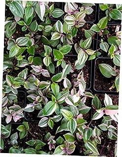 KAG 1 Live Plant Tradescantia Albiflora Rainbow Wandering Jew Rainbow Tricolor - RK1710