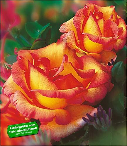 BALDUR Garten Delbard® Kletterrosen 'Parure d'or®' winterhart, 1 Pflanze