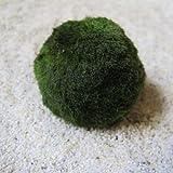 1 Mooskugel klein 3-5 cm - Cladophora aegagropila