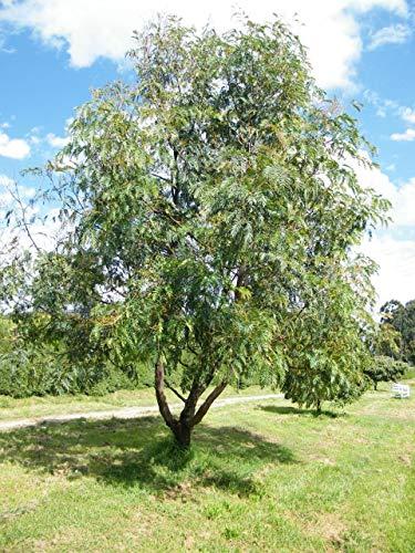 Portal Cool Cedar Akazie (Acacia Elata) 30 frische Samen