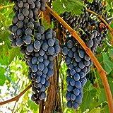 30種 - ブドウつる種子(ヴィティスヴィニフェラ)