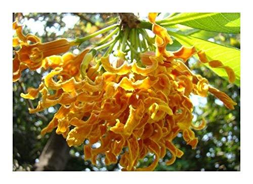Strophanthus boivinii - fleur copeaux de bois - 5 graines