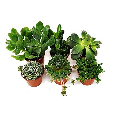 Pack de 6 Plantas Suculentas Mix Maceta 5cm Plantas Crasas Decorativas