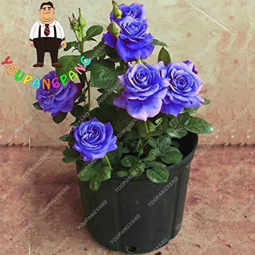 ShopMeeko Seeds:20 Mini Rainbow Chinese Rose Tree Bonsai Plants Flowers For Garden Potted Planters Semillas De Flores Raras : 2