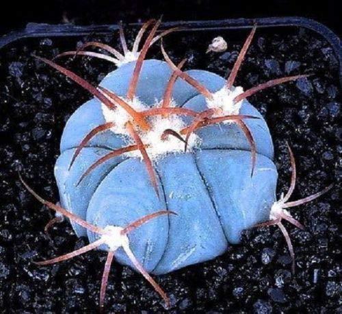10 Semillas pinchos azul biznaga calor Raras suculento de Piedra Flor del desierto