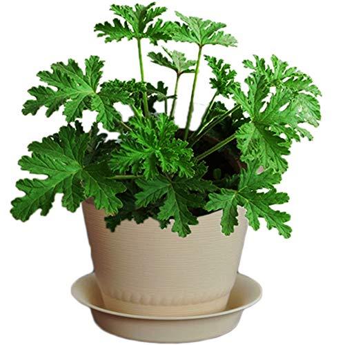 Go Garden 100pcs anti-moustiques plante verte Mozzie Buster Citronnelle Graines de plantes Nouveau