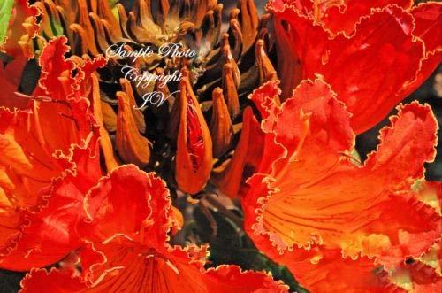 Spathodea campanulata Afrikanischer Tulpenbaum Samen Hellrot tropische Blumen (10)
