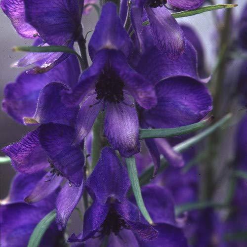 Plant World Seeds - Aconitum...