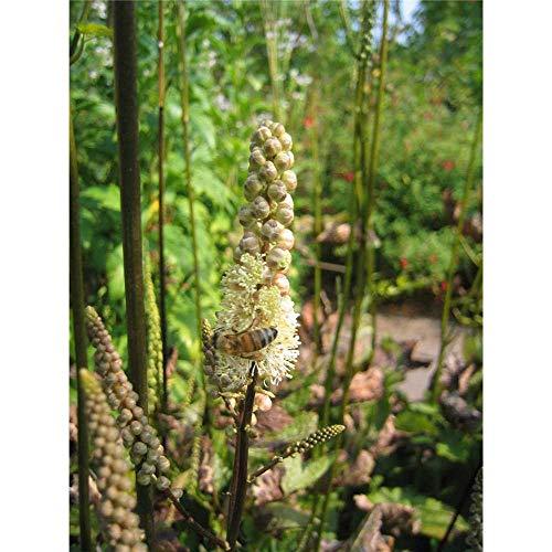 Cimicifuga racemosa var.cordifolia - Lanzen-Silberkerze - 11cm Topf