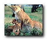 Wildlife Animal Wall Decor Lion Cubs with Mother Art Print Poster (16x20)