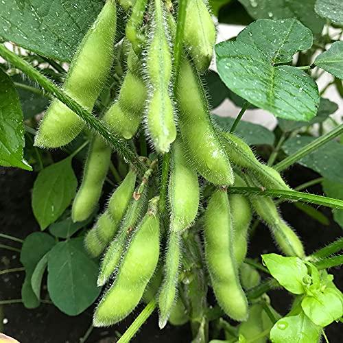 """枝豆の苗""""秘伝""""10.5cmポット 3個セット【品種で選べる野菜苗/10.5cmポット苗/3個】学名:Glycine max/タイプ:マメ科ダイズ属/英名:Soybean EDAMAME●甘味があって味が濃い!甘さ・香り・大きさ、どれをとっても抜群!枝豆・大豆両方で食べられ、濃緑色の莢で風味と甘味に富み、食味が良いです。1株当りの莢付きも70前後と多く、収量性が抜群に良い。【収穫】サヤを指でつまむと豆が飛び出てくるくらいになったら、株ごと引き抜いて収穫します。エダマメは収穫適期が数日と短いので、とり遅れに注意しましょう。【※出荷タイミングにより、苗の大きさは大きくなったり小さくなったりしますが、生育に問題が無い苗を選んで出荷します。植物ですので多少の葉傷み等がある場合もございますが、あらかじめ、ご了承下さい】"""