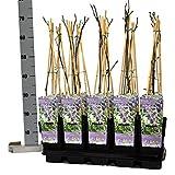 Blumen-Senf Chinesischer Blauregen Wisteria sinensis Prolific 60-70 cm/Topf Ø 15 cm/wunderschöne Kletterplanze