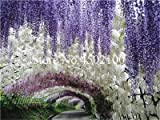 bloom green co. saldi! 20 pz misti wisteria bonsai, rare wisteria otdoor bonsai perenni interne ornamentali piante da vaso per la casa mini garden: 5
