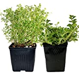 growing oregano for chickens