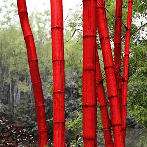 begorey Garten - China Moso Bambus Samen Bunte Riesenbambus Samen schnelles Wachstum winterharte Pflanze für Garten Haus (20 Stk, Rot)