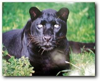 Wildlife Animal Wall Decor Black Leopard (Panther) Art Print Poster (16x20)