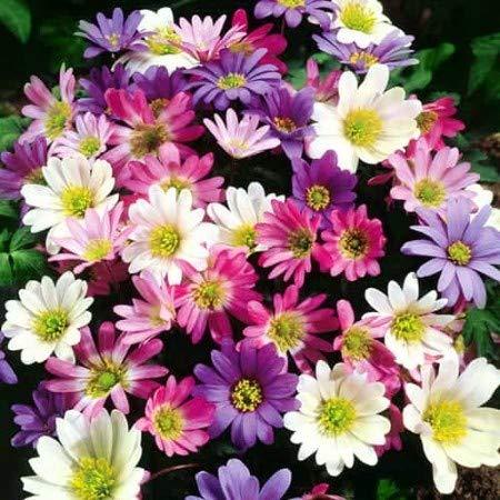 Beautytalk-Garten 50pcs Gefüllte Chrysanthemen Mix,Mehrjährige Blumen Chrysanthemum winterhart Bodendecker Blütenmeer Zierblumen