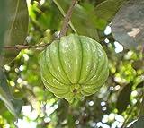M-Tech Gardens Garcinia Gummi-Gutta Cambogia Malabar Tamarind Kudampuli Live Plant
