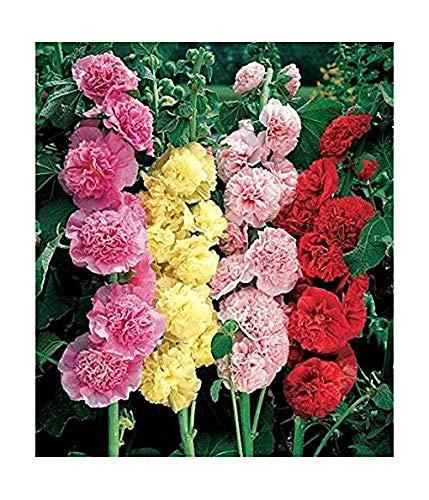 Stockrosen - Alcea rosea - Malve - Hollyhock Chater's Double Mix - 20 Samen