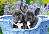 Castorland C-104246-2 Teile Hobby Panoramic French Bulldog Puppies Jigsaw Puzzle, 1000 Pieces Set, Multicolour