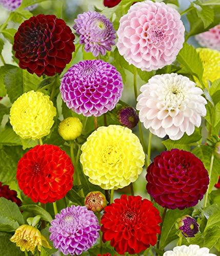 DAHLIE - Dahlia Pompon Gemischt/Mischung, Pack: 12 Knollen (Größe XL), BULBi Blumenzwiebeln Spezialist Top Qualität, Erstellen Sie einem Meer von Dahlien Blumen, Auswahl für Schnittblumen.…