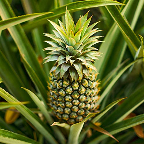Edible Pineapple Plant with Fruit in...