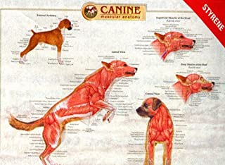 Canine Musculature Laminated Poster Dog K9