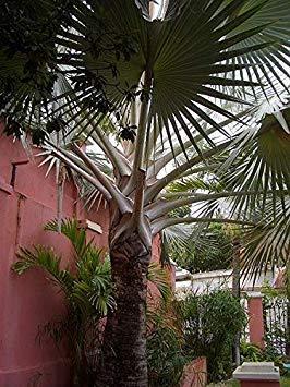 Potseed Keimfutter: Bismarckia nobilis - Silber Bismarck Palm - 5 Samen