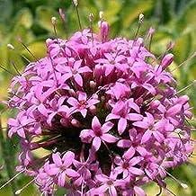 Crossworts Pretty Pink Flower Seeds (Crucianella (Phuopsis) Stylosa) 100+Seeds
