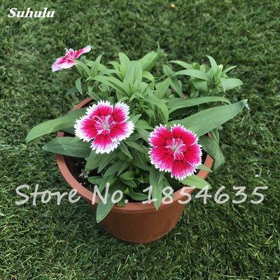 Inde importation Œillets Seed Dianthus caryophyllus Embellir et de purification d'air bricolage jardin Plantation maman cadeau 120 Pcs 5