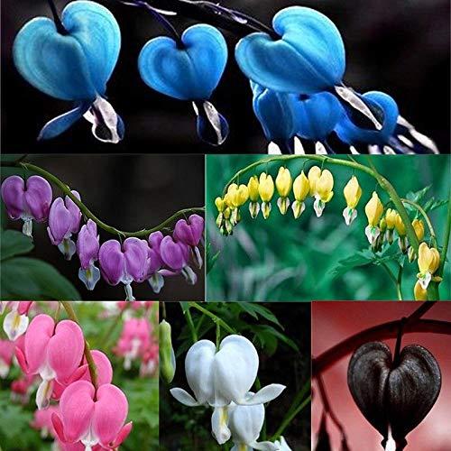 HONIC Weiß: 10 Stück Perennial Spectabilis Kräuter Dicentra Tränendes Herz Pflanze Blumensamen