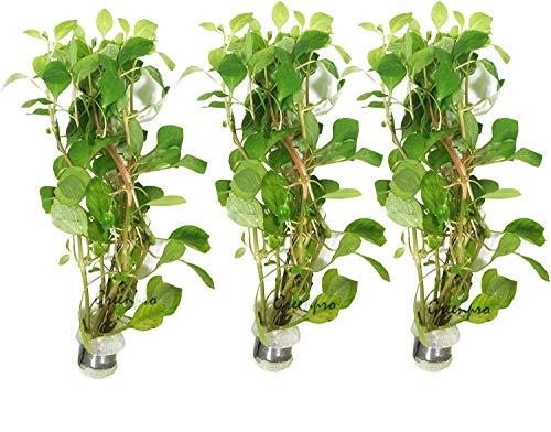 Greenpro 3 Bundles Ludwigia Palustris | Water Pimrose Package Live Aquarium...