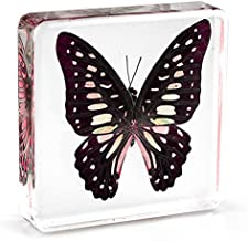 Graphium doson Butterfly Paperweight Specimen Paperweight for Science Education for book for office for desk(3
