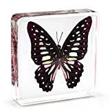 "Graphium doson Butterfly Paperweight Specimen Paperweight for Science Education for book for office for desk(3"" x 3"" x 0.6"")"