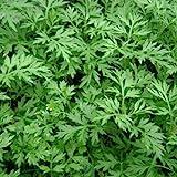 Semillas de ajenjo, ajenjo Semillas 100 piezas de humedad demanda Disminuya la inflamación Cultivos Semillas Yard Ajenjo para la jardinería Ideal regalo al aire libre