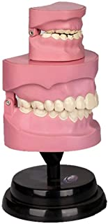 YXZQ Human Teeth Anatomical Model - Dental Teeth Model Set - Teeth Model for Children - for Study Display Teaching Medical...
