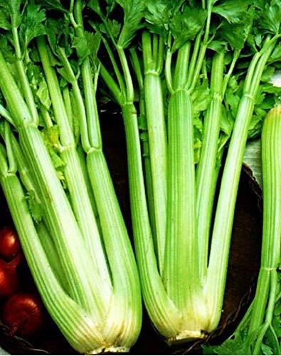 Semillas de apio Tall Utah 52/70 Semillas agrícolas Aromas Sedan 1800 Semillas Aproximadamente SE002