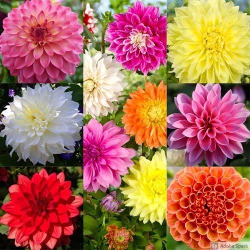Dahlie Decorative Mix 15 ST (Mischung) [Sommerblüher] - Amsterdam Flower Bulbs Online ®