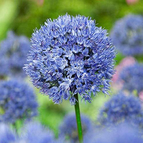 10 Stück Blaue Alliumbirnen Zwiebel Spezialsorte Starke Rhizome Blühen Schöne Kugelförmige Blumen Gartenhof Pflanzen Hohe Überlebensrate Starke Anpassungsfähigkeit Dekoration Strauß