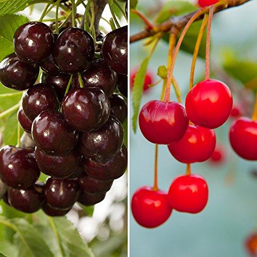 YouGarden Duo Fruit Cherry Tree, 2 Varieties on 1 Bare Root Tree